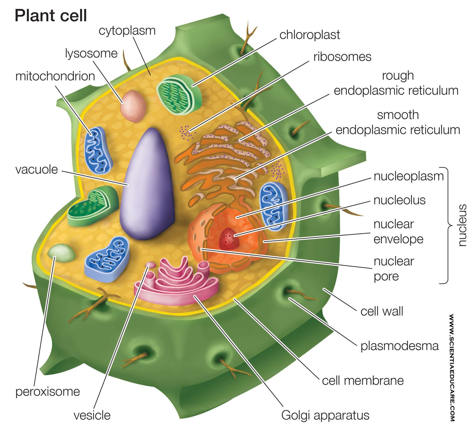 Plant Cell Diagram - Educational Portal India